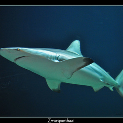 Zwartpunthaai (Carcharhinus Limbatus)