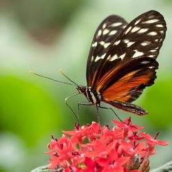 Monarchvlinder Berkenhof