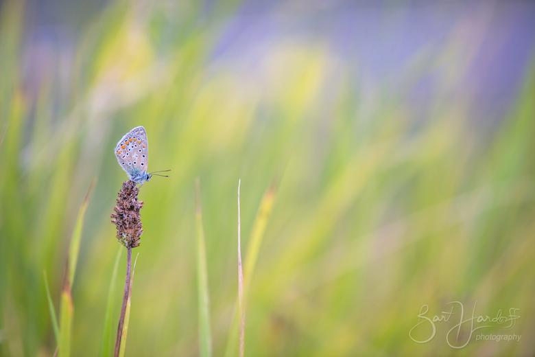 icarusblauwtje - De namiddag voordat ik deze foto maakte heb ik dit gebiedje gecontroleerd op blauwtjes. Hier maak ik jaarlijks wel foto's van de