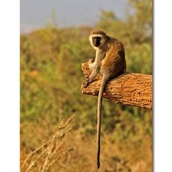 Vervet Monkey - Amboseli NP