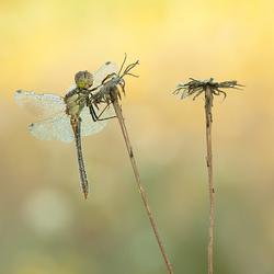 Steenrode Heidelibel