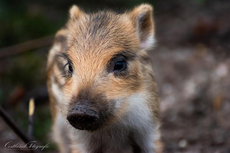 Baby wild zwijntje - Dit wild zwijntje heb ik op de foto kunnen zetten. Het zijn hele bewegelijke dieren die continu op en neer springen, dus ik ben w