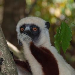 Maki Madagascar
