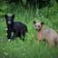 Canadian black bears