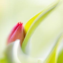 Tulp uit schulp
