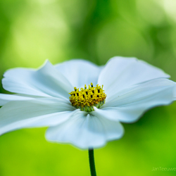 Cosmos bipinnatus | Out of space