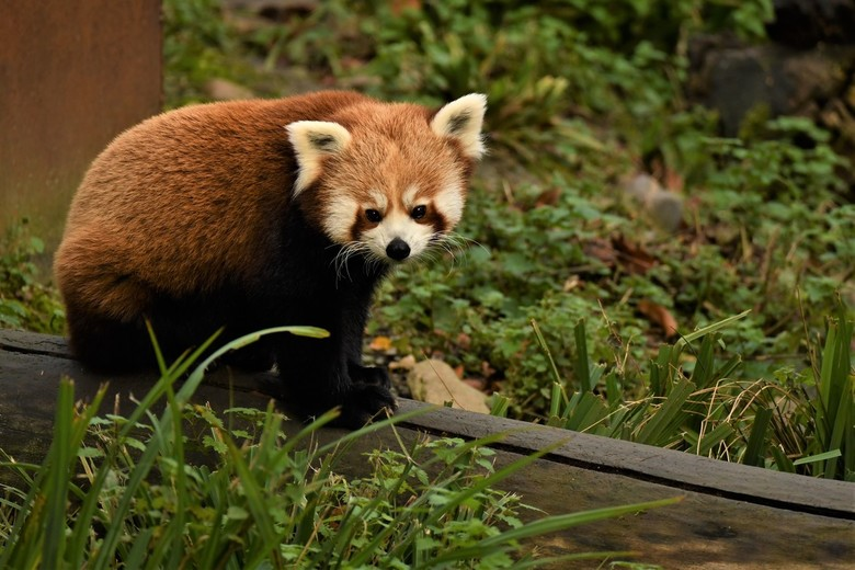 Rode Panda - Deze rode panda is te vinden in Gaiazoo te Kerkrade. De rode panda is een van de weinige dieren die bamboe eet. In het leefgebied van de