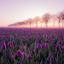 Tulpen zonsopkomst
