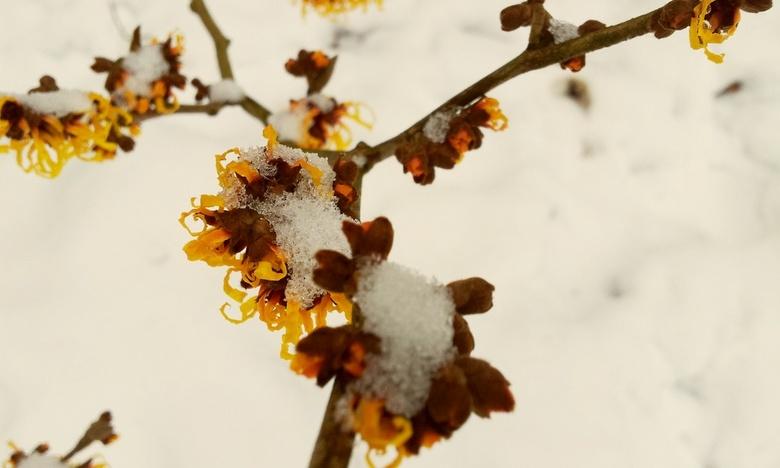 Besneeuwde bloeiende hazelaar - Besneeuwde bloeiende hazelaar in de Paleistuinen, winter 2013 - Den Haag