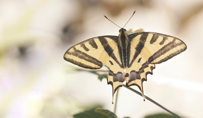 Zuidelijke koninginnenpage - Papilio alexanor