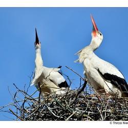 Stork Chatting