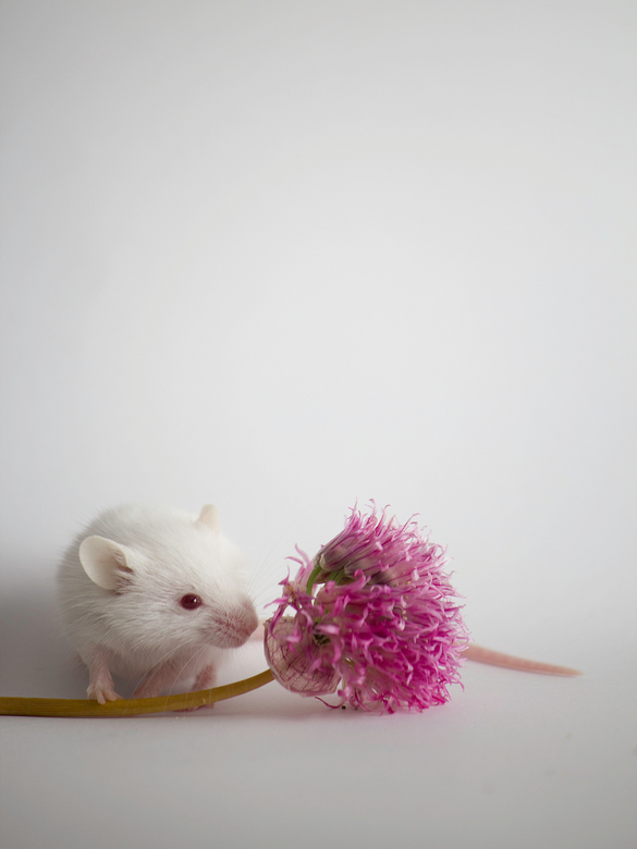 Wat ruikt dat lekker! - Muis met bloem. Heb geexperimenteerd met mijn nieuwe flitser.<br /> Graag jullie reacties op deze foto