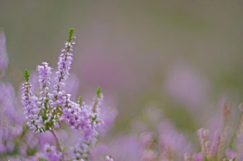Heide in bloei..... - De Helios cyclop 85/1.5, een lens die ik niet meer wil missen vanwege de prachtige effecten die er mee kunt bereiken. Deze lens