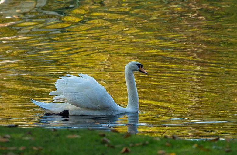 Zwaan in goud - Tja deze zwaan zwom in het goud gekleurde water. Heb alles weer op een rijtje. Maar elke ochtend ben ik weg om te trainen en de oneven