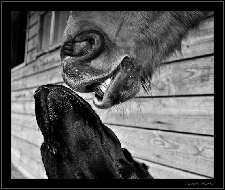 Kiss me - Ik heb al eens eerder een foto geupload van mijn paard en mijn hond die aan het knuffelen zijn. <br /> <br /> Regelmatig zijn ze aan het f