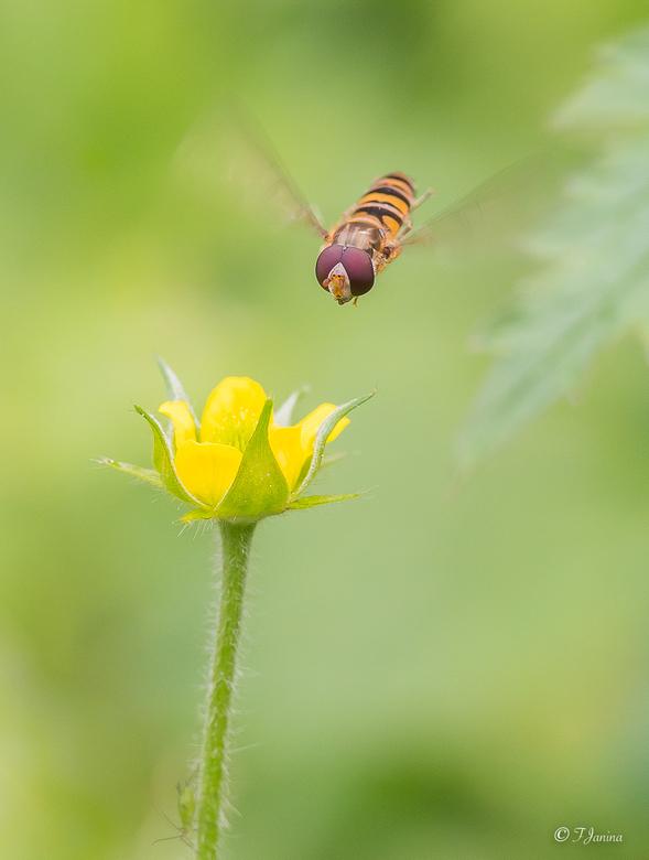 Zooooooommmmhhh..mm - Dit zweefvliegje dook op het bloemetje af.<br /> <br /> Dank voor alle leuke reacties en waarderingen op mijn vorige upload &#