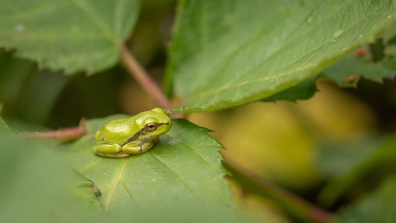 Boomkikkertje - Dit kleine boomkikkertje is amper 1 centimeter groot. Wat een ding hè?