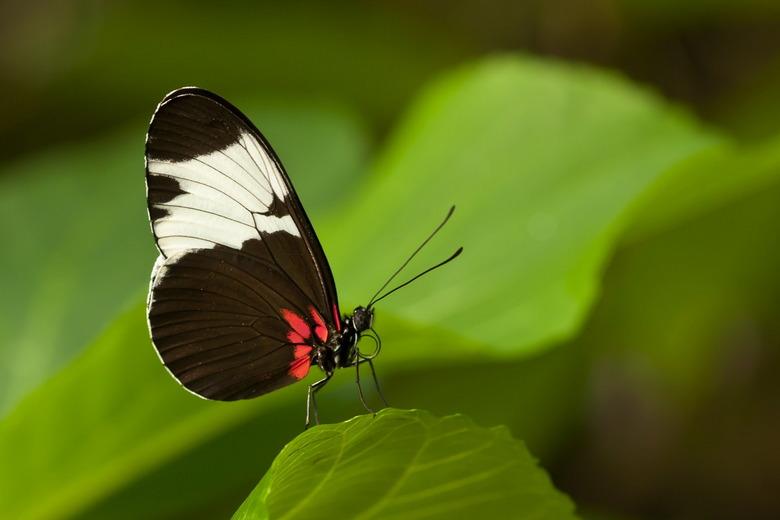 Heliconius cydno - Ook deze soort passiebloemvlinder weer gezien in Artis.