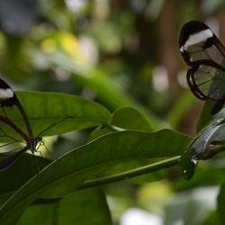 doorzichtige vlinders