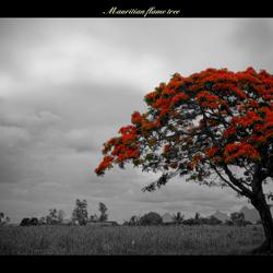 Mauritian Flametree