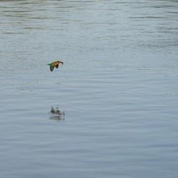 Ijsvogel met vangst