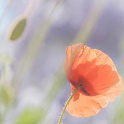 Pastel Poppy