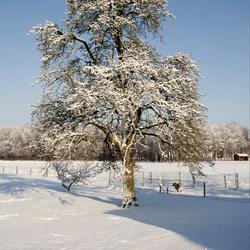 Perenboom in de sneeuw