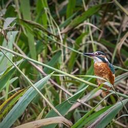 IJsvogel / Kingfisher 2
