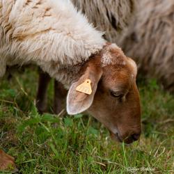 een mooi schaap