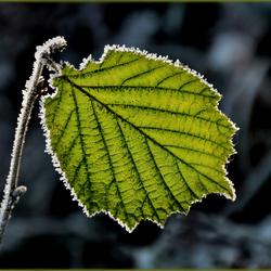 Winterblad..