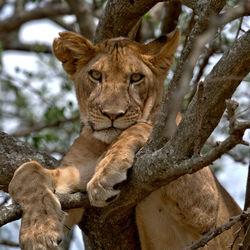 Leeuw in Serengeti National Park Tanzania