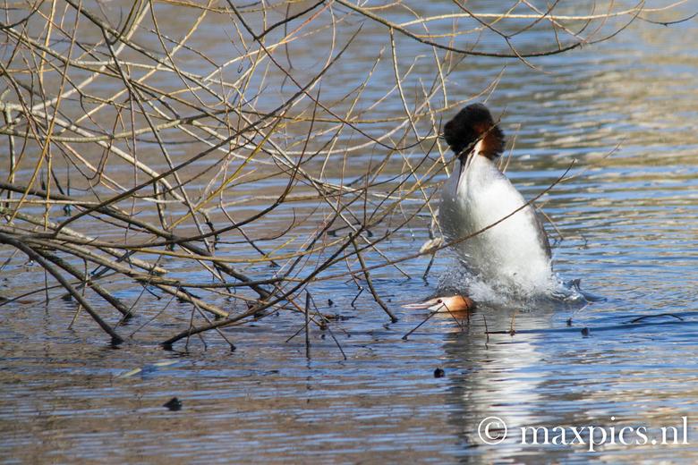 parende futen - Een paartje futen dat aan het paren was, dit gebeurd op het water dus het vrouwtje ging kopje onder