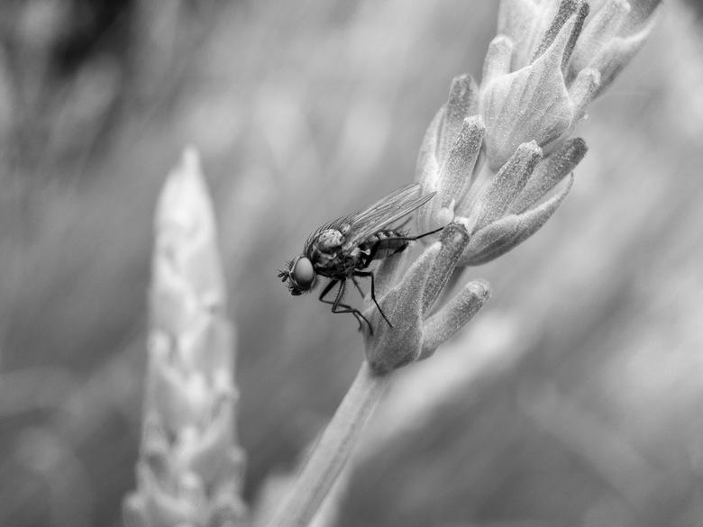 Een perfecte pose - Een vlieg zit uit te rusten op een lavendel takje en geniet van de geur van de lavendel