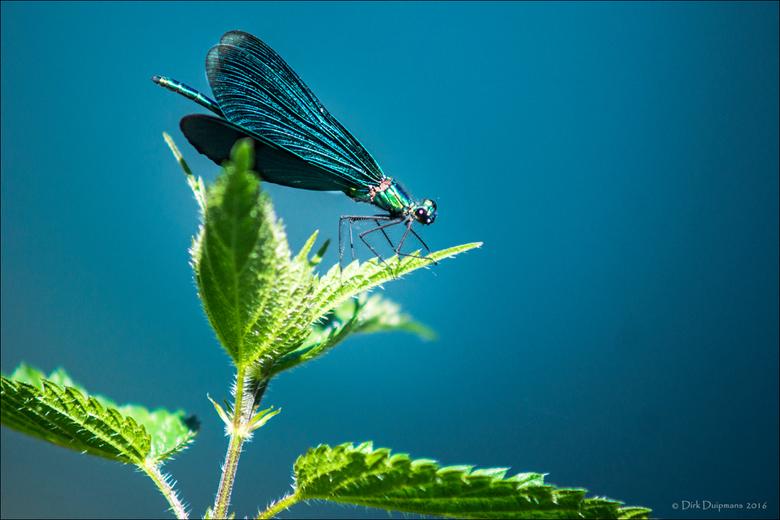 Bosbeekjuffer - Mijn kennis van de insectenwereld is niet groot. In eerste aanleg heb ik daarom de verzamelnaam Libelle gebruikt. Jannie (jbosch1) hee