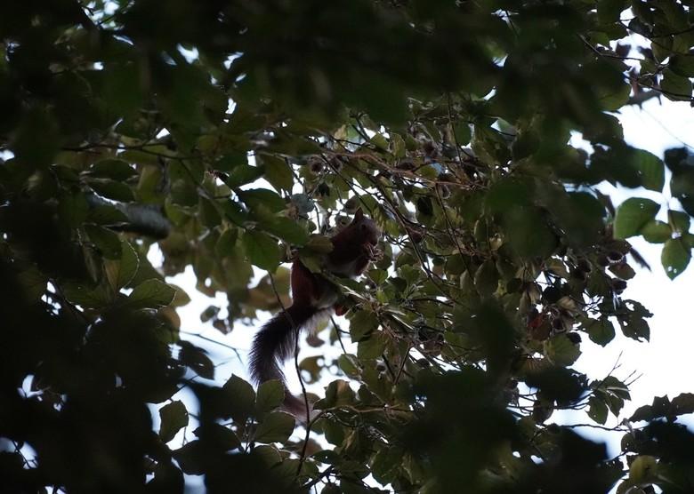 Eekhoorn op eenzame hoogte - Een eekhoorn die aan het genieten is van de eikeltjes hoog op een tak