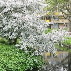 Heesters in Lente bloei (3)