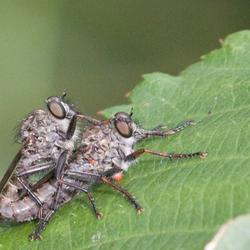 koppeltje roofvliegen