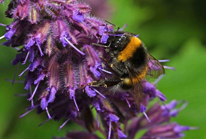 harig - De combinatie van een harig insect op een harige plant spreekt mij aan. <br /> De aardhommel is moeilijk te onderscheiden van de veldhommel,