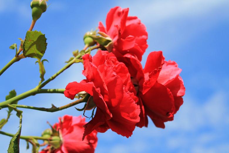In Company - Felrode bloemen tegen een heldere, blauwe lucht.