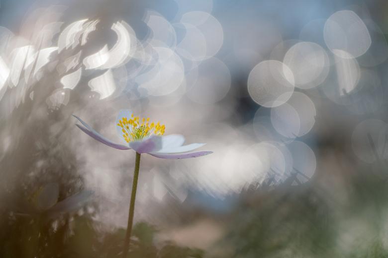 Bosanemoon - Het was gisteren een perfecte lentedag om Bosanemoontjes te gaan fotograferen!