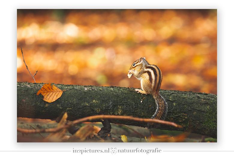 Give me food! - Het bos ligt momenteel vol met eten voor de eekhoorntjes en dat is maar goed ook, want binnenkort duiken deze kleine grondeekhoorntjes