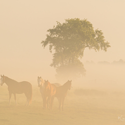 Horses in the Mist!