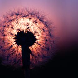 Paardenbloempluis voor ondergaande zon