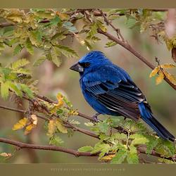 De Blauwe Bisschop (Cyanocompsa brissonii brissonii)