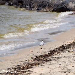 Meeuw lopend over het strand