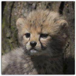little cheeta.