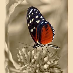 Passiebloemvlinder..