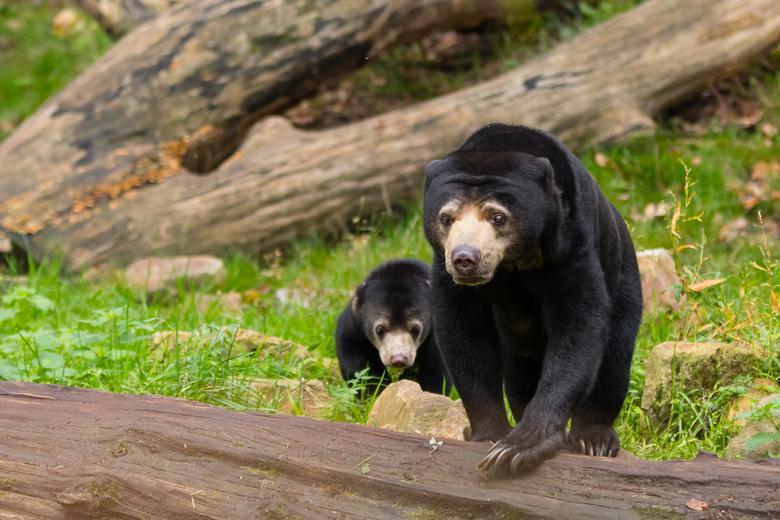 Maleise beer - moeder met jong - Op dit moment is ook Burgers&#039; Zoo gesloten voor publiek. Bizarre tijd is het toch...<br /> Deze foto is vorig n