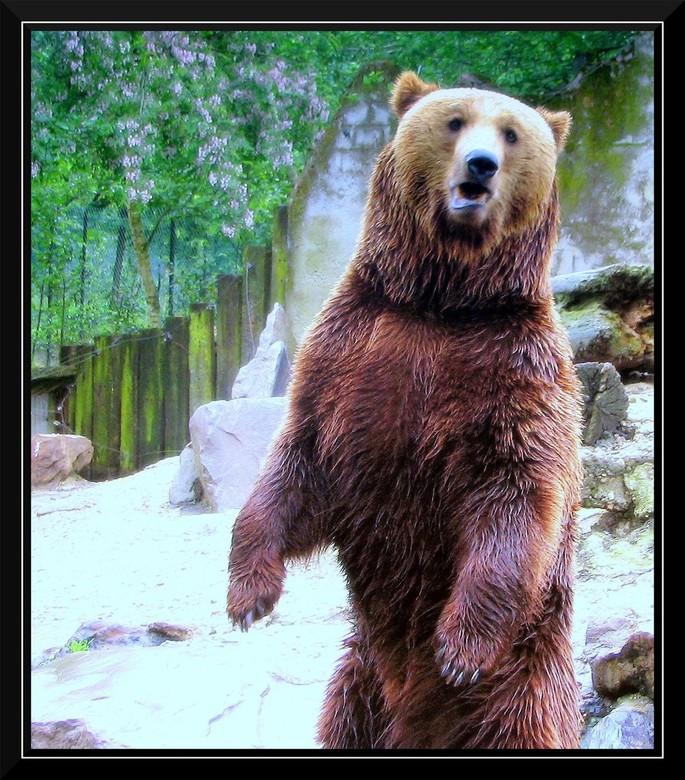 Afbeeldingsresultaat voor grisly beer