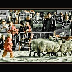 Kleine schapendrijvers